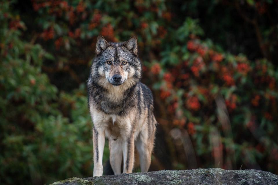 Takaya Lone Wolf