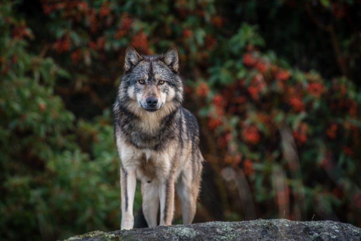 Takaya Lone Wolf Promo Image